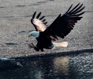Eagle landing on water
