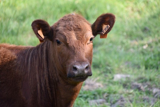 This is a picture of a red heifer.