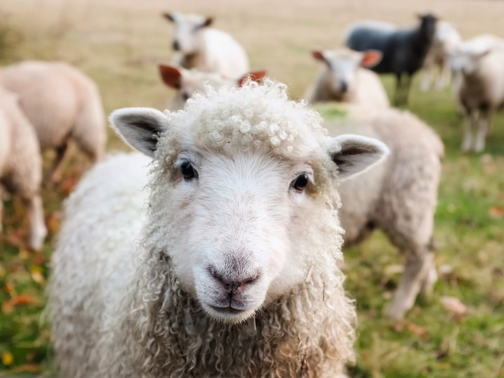 This is a picture of a sheep. the Bible compares Christians to sheep.