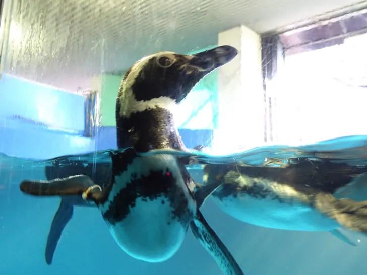 須磨水族園 ペンギン