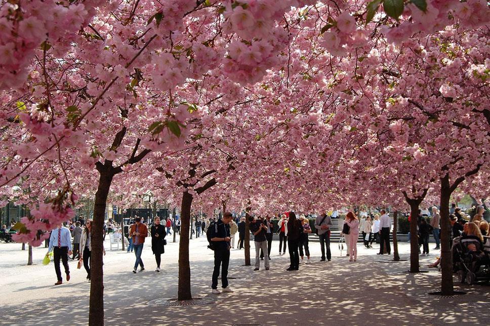cherry_blossom_in_sweden_viii_by_madebyrf-d3f6wzz