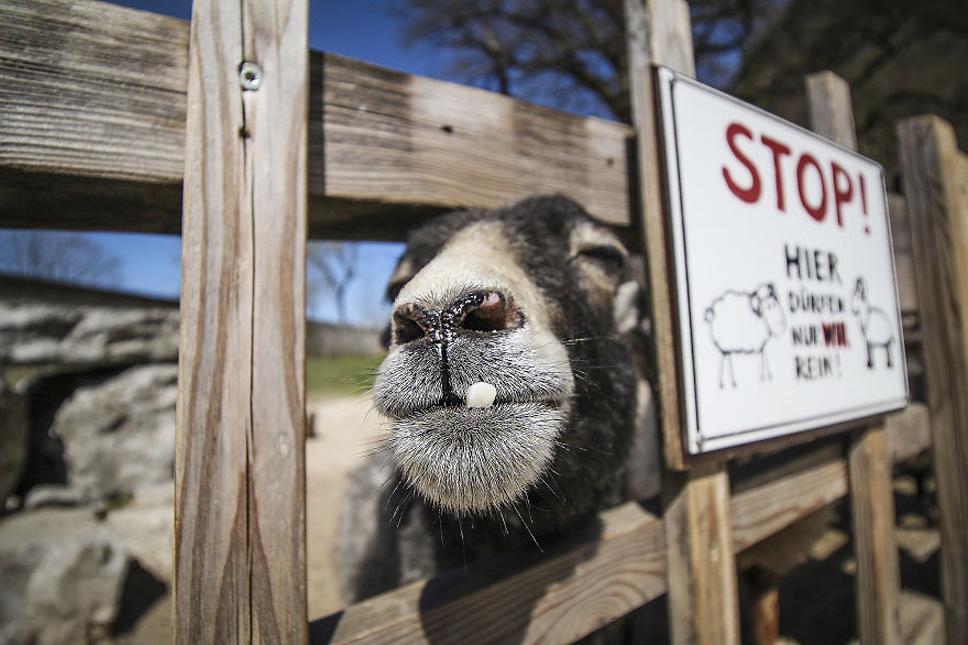 Mug-Shot-Goat-5-5733553d8ffac__880