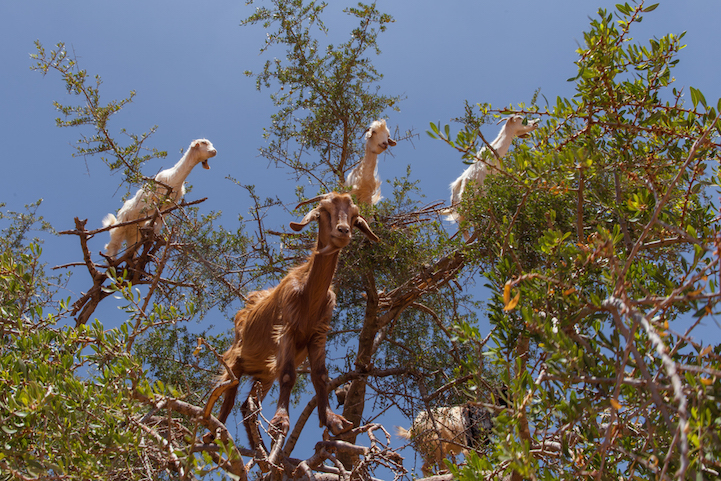 cabras (6)