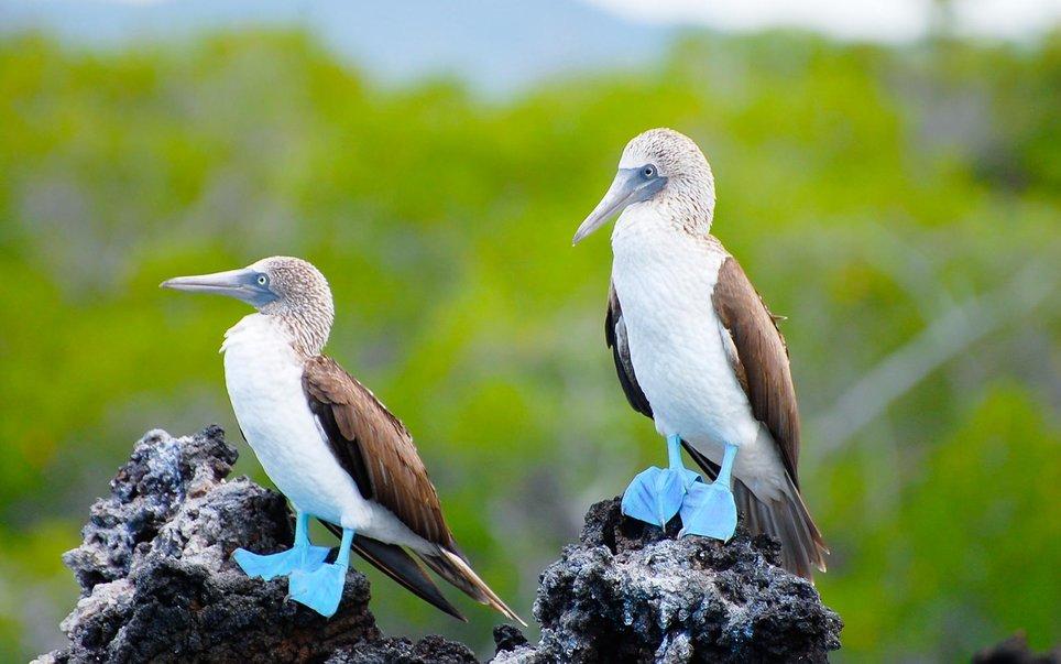 galapagos-ecuador-blue-footed-booby-WBISLAND17