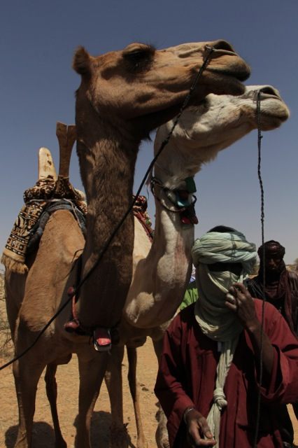 Camels races:  first and second place
