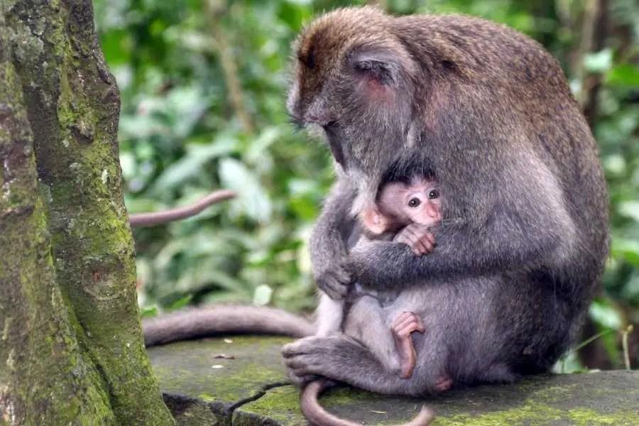 Monkey Bali Ubud