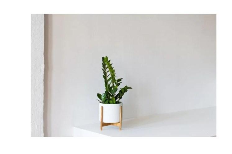 Zamioculcas sau Planta Eterna (sau Bijuteria din Zanzibar) - plante de casa