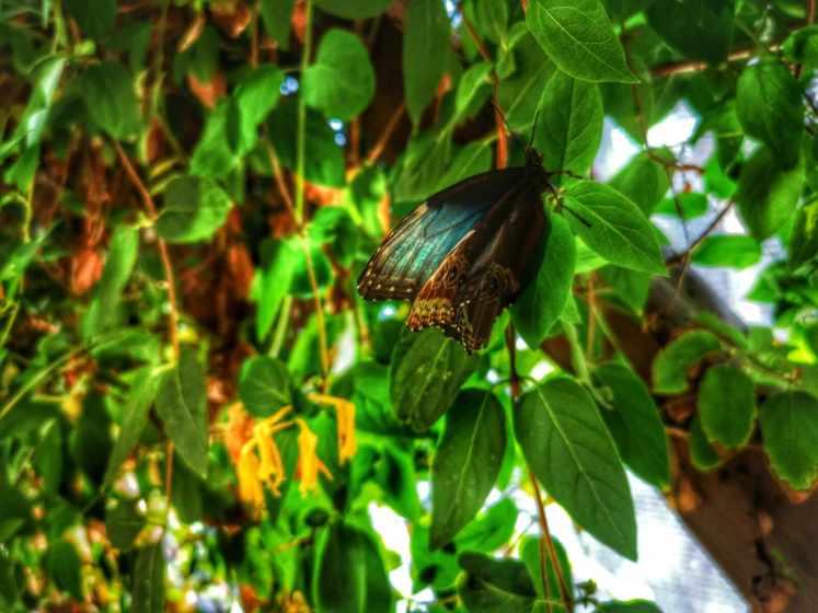 vedeta este fluturele de azur (Morpho peleides)