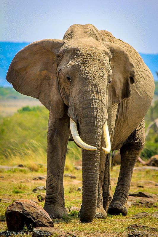African Elephant, Maasai Mara