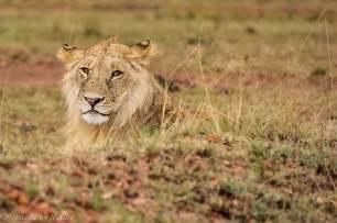 Young Male Lion Resting, Maasai Mara