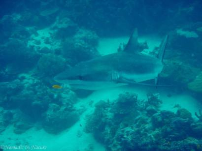 Blacktipped Reef Shark, Palau