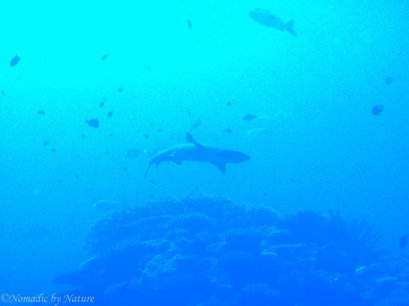 Reef Shark, Ulong Passage, Palau