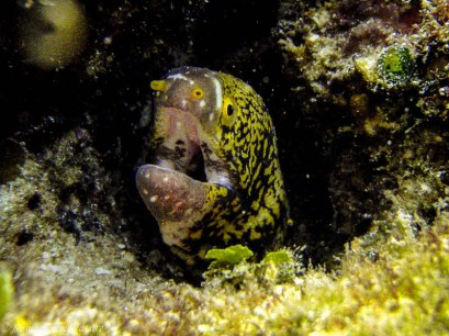Eel, Rock Islands, Palau