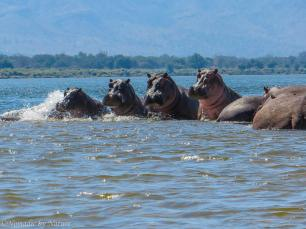 Hippos on a embankment in the middle of the river, getting ready to scatter