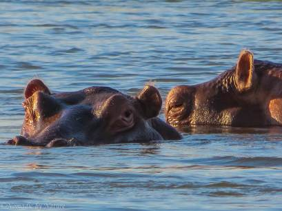 Hippos too close for comfort
