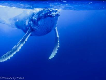 Humpback Calf Plays in the Surface Sunlight