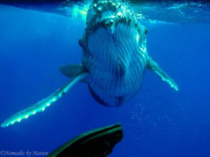 Humpback Calf Charges as I Backpedal