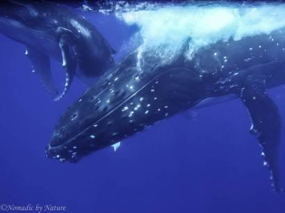 Giant Head of the Mother Humpback