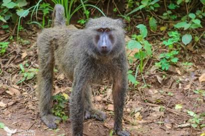Baboon, Bigodi Wetlands, Uganda