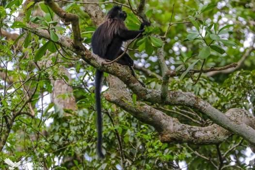 Mangabey, Bigodi Wetlands, Uganda