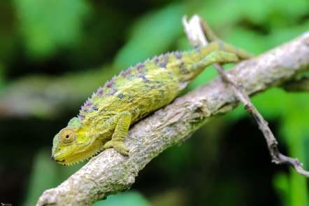 Chameleon, Bisoke Volcano, Rwanda