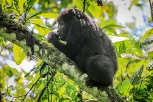 Baby Gorilla Eating, Bwindi Impenetrable Forest, Uganda