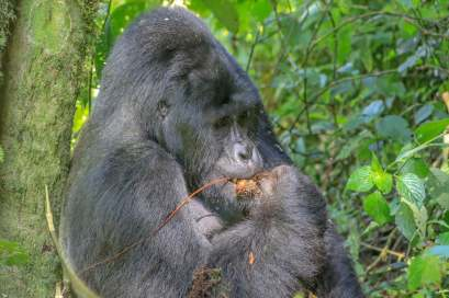 Silverback Feasting on His Spoils from the Treetops, Bwindi, Uganda