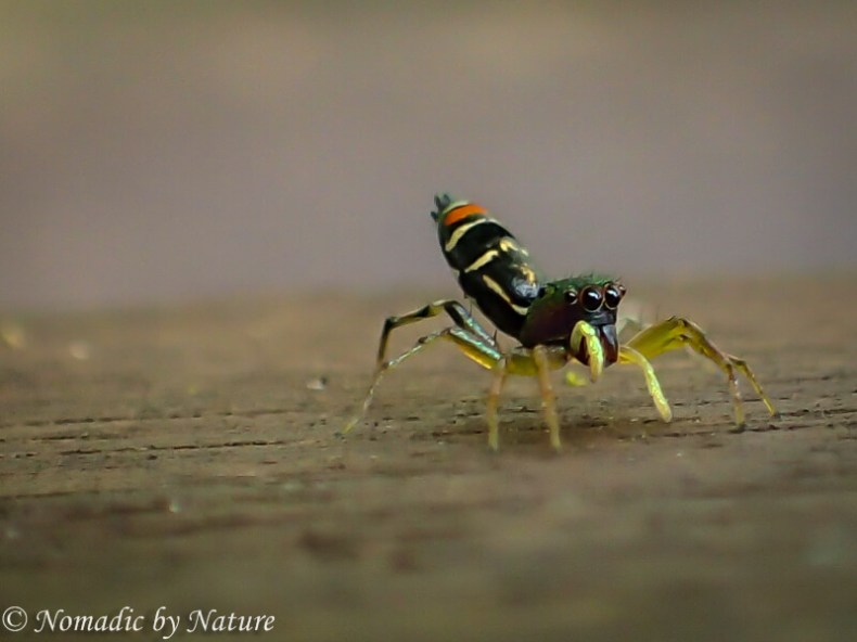 Colorful Jumping Spider, Danum Valley, Borneo