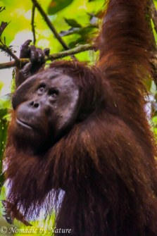 Male Flanged Orangutan, Danum Valley