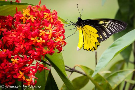 Birdwing Butterfly, Danum Valley