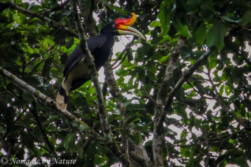 Rhinoceros hornbill, Danum Valley