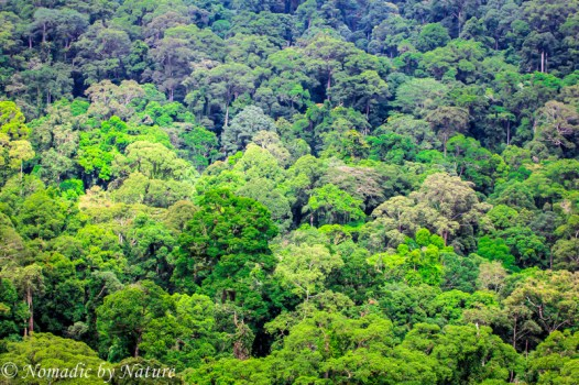 Dipterocarp Tree Canopy, Danum Valley