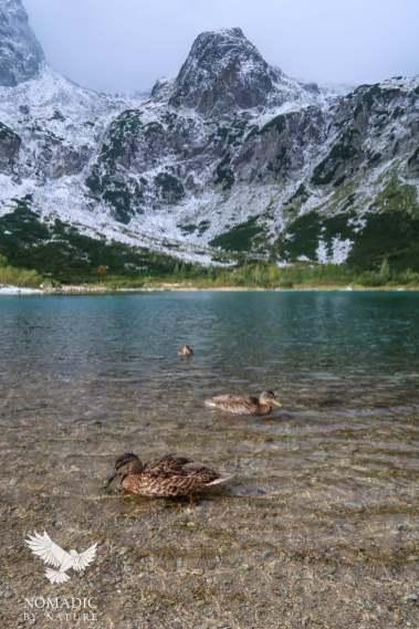 Ducks Swimming in the Green Lake, High Tatras, Slovakia