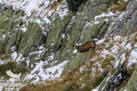 Chamois Jumping, High Tatras, Slovakia