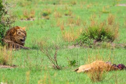 A Male Lion Guards its Kill, Ishasha, Queen Elizabeth National Park