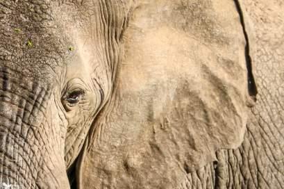 An Elephant Flaps its Ears in the Heat, Ishasha, Queen Elizabeth National Park