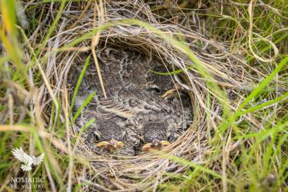 A Lark's Nest Hidden in the Savannah, Kalahari Plains, Botswana