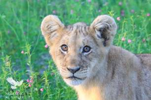 The Lion Cub's Heart Shaped Head, Kalahari Plains, Botswana