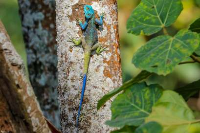 A Colorful Agama, Kasenda Crater Lakes, Uganda