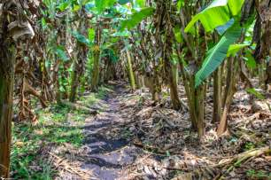 Hiking Through Banana Plantations, Kasenda Crater Lakes, Uganda