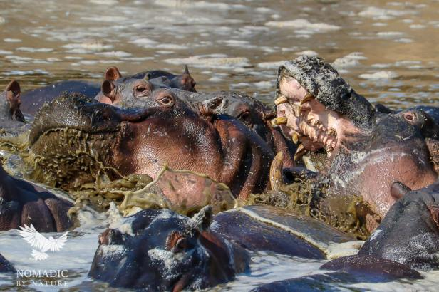 A Hippo Biting its Neighbor, Katavi National Park, Tanzania