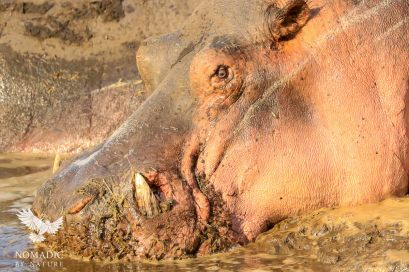 A Hippo's Tusks Protruding through its Nostrils, Katavi National Park, Tanzania