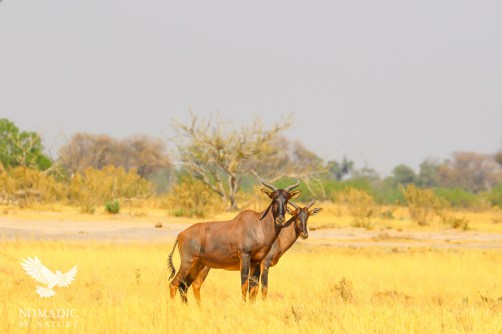 Two Tsessebe Graze in the Golden Grass, Khwai, Botswana