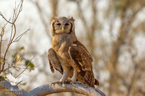 A Wise Eagle-Owl in the Forest of Khwai, Moremi Game Reserve, Botswana