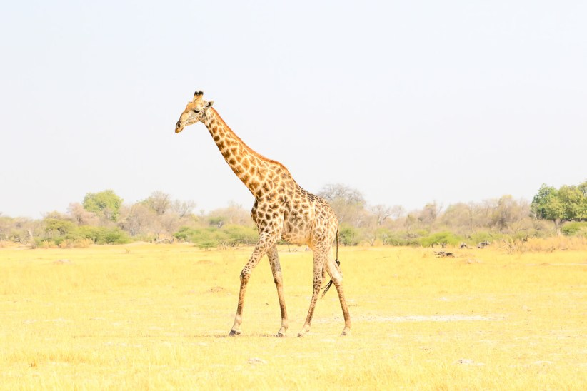 A Giraffe Searching for Water, Khwai, Moremi Game Reserve, Botswana
