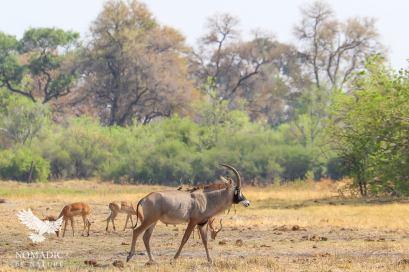 A Rare Roan in Khwai, Moremi Game Reserve, Botswana