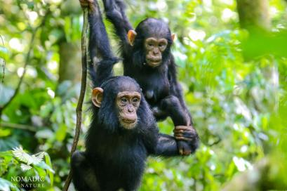 A Young Chimpanzee Helps Another Down a Vine, Kibale National Park, Uganda