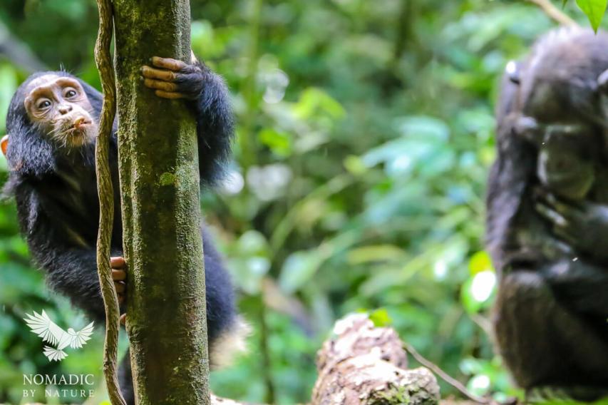 A Young Chimpanzee Climbing a Tree, Kibale National Park, Uganda