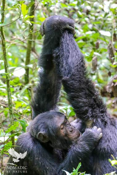 Two Male Chimpanzees Groom Each Other, Kibale National Park, Uganda