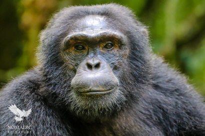A Male Chimpanzee Stares Me Down, Kibale National Park, Uganda